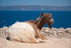 Cretan Goat. A cretan goat sitting on a rocky road above the sea Royalty Free Stock Photography