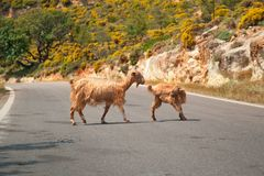 Cretan goats on the road. Cretan goats on a deserted road Royalty Free Stock Images