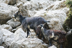 Cretan goats Stock Images