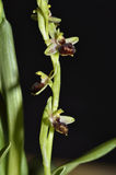 Cretan Ophrys Orchid Stock Photo