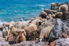 Cretan Sheep. A flock of Cretan sheep on Mediterranean blue sea background Stock Image