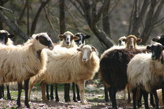 Cretan sheep 1. Cretan Greek long haired sheep. Fodele. Crete Royalty Free Stock Photos