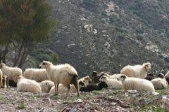 Cretan sheep 5. Cretan Greek long haired sheep. Fodele. Crete Royalty Free Stock Photo