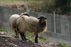 Cretan sheep 2. Cretan Greek long haired sheep. Fodele. Crete Stock Image