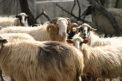 Cretan sheep  Royalty Free Stock Photo