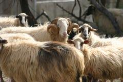 Cretan sheep. Cretan Greek long haired sheep. Fodele. Crete.  Ram with horns Royalty Free Stock Photo