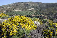 Cretan spring-blooming countryside. Gorse, wildflower and olive trees Stock Photo