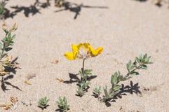 Cretan trefoil. Flowers and leaves of Cretan trefoil, Lotus creticus. Photo taken in dunes of Carabassi beach, Elche, Valencian Community, Alicante, Spain, by Royalty Free Stock Photos