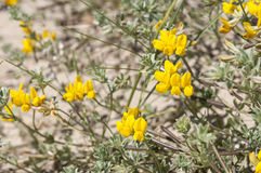 Cretan trefoil, Lotus creticus Royalty Free Stock Photo