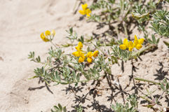 Cretan trefoil, Lotus creticus Stock Photos