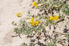 Cretan trefoil, Lotus creticus. Flowers and leaves of Cretan trefoil, Lotus creticus. Photo taken in dunes of Carabassi beach, Elche, Valencian Community Stock Photos