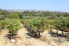 Cretan vineyard Royalty Free Stock Photo