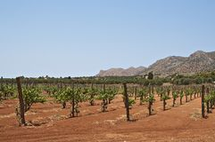 Cretan vineyards. Vineyards on Crete near Agia-Triada monastery Stock Photo