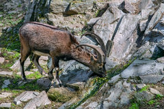 Cretan wild goat drinking water from a runlet Stock Photography