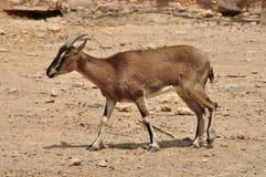 Cretan wild goat Royalty Free Stock Image