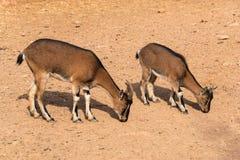 Cretan wild goats grazing Royalty Free Stock Image