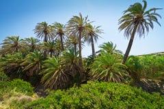 Cretandatumpalmträd med bananer på Crete Arkivbild