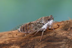 Crete / Cicada Stock Image