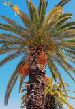 Crete date palm tree. A Cretan date palm, Phoenix theophrastii, against a blue sky on its native island Royalty Free Stock Images