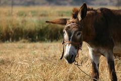 Crete / Donkey Royalty Free Stock Photography