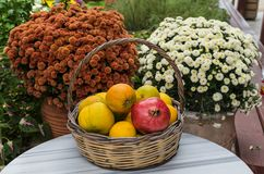 CRETE, GREECE - November, 2017: Wicker basket with fruits on a background of chrysanthemums. CRETE, GREECE - November, 2017: Close-up: a wicker basket with Royalty Free Stock Photography