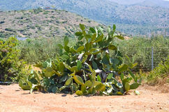Crete grow a lot of different kinds of cactus Stock Photography
