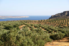 Crete / Olive trees. An olive tree plantage / Crete / Greece Royalty Free Stock Images