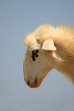 Crete / Sheep Royalty Free Stock Image