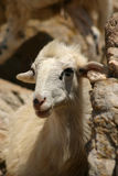 Crete / Sheep Royalty Free Stock Photography