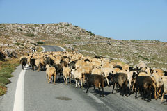 Crete / Sheep blockade Royalty Free Stock Photography