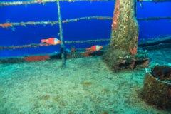 Cretense femenino de Sparisoma del pez papagayo Fotos de archivo libres de regalías