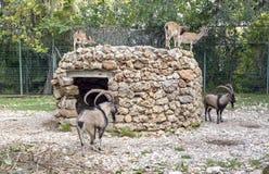 Cretica do aegagrus da cabra do ` do kri-kri do ` da cabra selvagem do Cretan foto de stock royalty free
