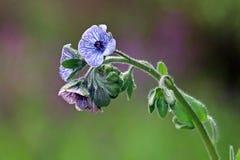 Creticum Cynoglossum Завод с малыми голубыми и розовыми цветками стоковое фото