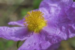 Creticus dello ssp di incanus di cistus Fotografie Stock