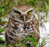 Creusant le hibou (cunicularia d'Athene) photo libre de droits