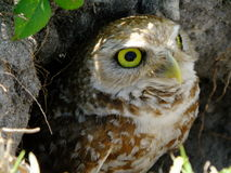 Creusant le hibou (cunicularia d'Athene) photo stock