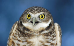 Creusant le hibou (portrait_2) Photo stock