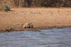 Creusement de babouin Photos libres de droits