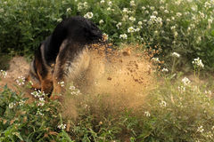 Creusement de chien Images libres de droits