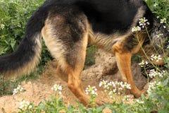 Creusement de chien images stock