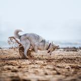 Creusement drôle de chien de traîneau Images stock