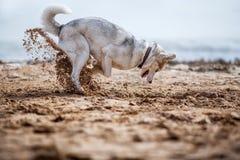 Creusement drôle de chien de traîneau Photographie stock libre de droits