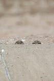 Creuser des yeux de hibou Photo libre de droits