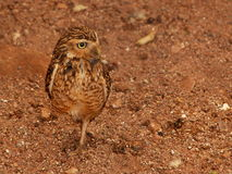 Creuser le hibou Photo stock