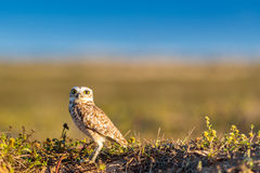 Creuser le hibou en parc de conservation photos stock