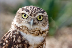 Creuser le portrait de hibou Photos stock