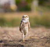 Creuser Owl Portrait Photos libres de droits