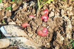 Creusez avec une pelle les cultures des pommes de terre photo stock