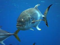 Crevalle κολύμβηση του Jack στοκ φωτογραφία με δικαίωμα ελεύθερης χρήσης