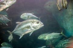 Crevalle dźwigarki srebnej ryby Caranx hipopotamy, żółty cavalli zdjęcia stock